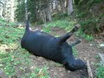 Dead Cow near Capitol Peak, Colorado by Roger J. Wendell - 08-08-2009