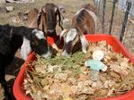 Goat leaf composting on Cherryvale Road, Boulder, Colorado by Barbara Jane Miller - 2009